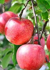たくさんの太陽の恵みをうけて育った絶品の西洋梨は感動の味!